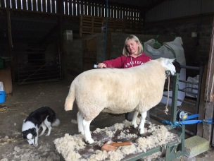 Mairi dressing sheep